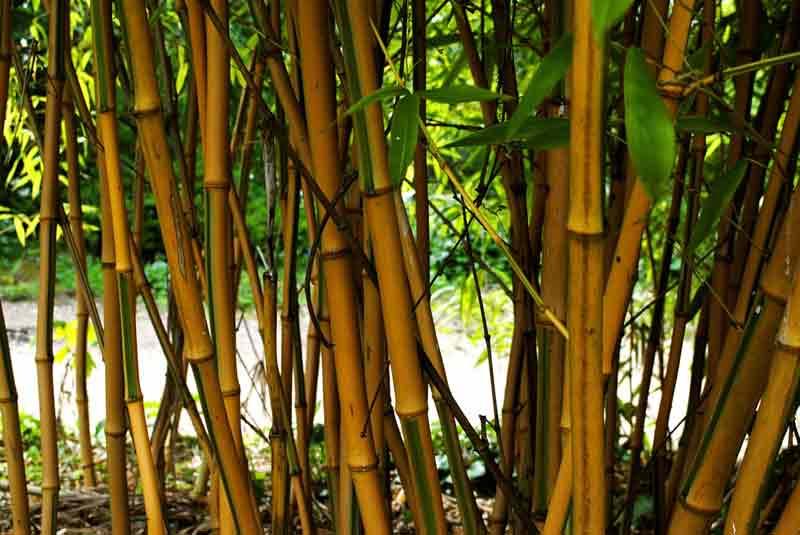Bamboos Plants Climbers Whole Plant Nursery Oxfordshire