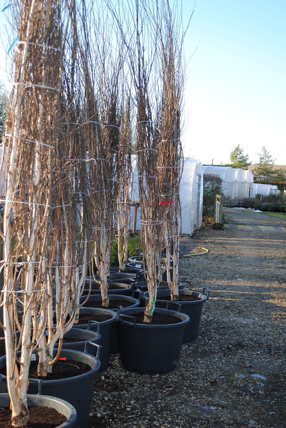 Tree sales at babylonplants the wholesale plant nursery in Oxfordshire