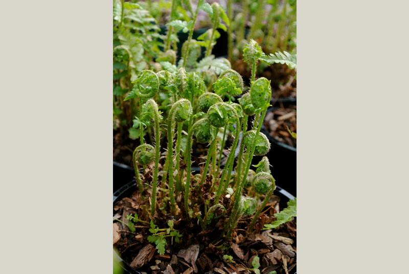 Ferns are beautiful foliage plants that will add softness and movement to shadier areas of the garden.