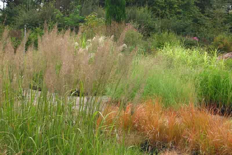 Grasses Wholesale plant Nursery Babylon Plants