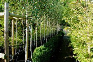 trees at wholesale plant nursery oxfordshire watlington