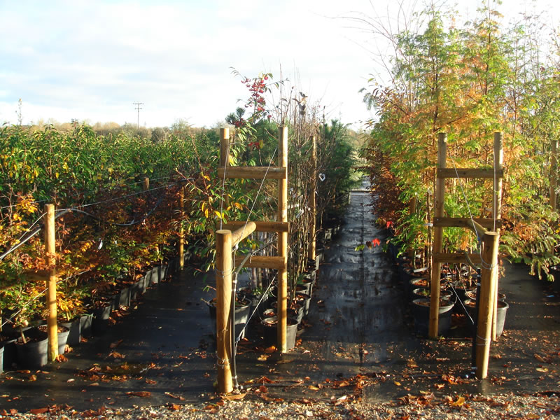 trees available at trade plant nursery oxfordshire