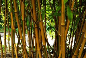 Whole Plant Nurseries Bamboo Babylon Plants