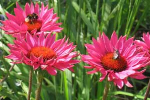 babylon plants Herbaceous Perennials oxfordshire wholesale plant nursery