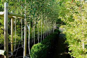 babylon plants wholesale plant nursery oxfordshire Trees