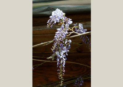wysteria climbing plants at wholesale plant nursery